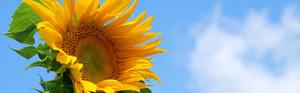 ecoproject_sunflower_index_main.jpg